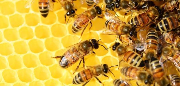 صورة كيف تعرف عسل النحل الطبيعي