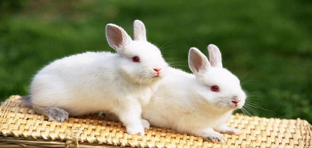 صورة ماذا تأكل الأرانب