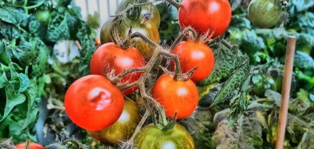 صورة طريقة زراعة الطماطم