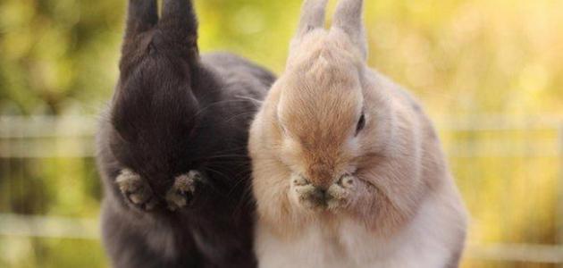 صورة معلومات عن الأرنب