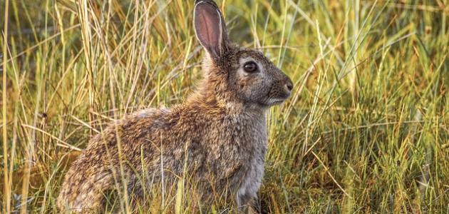 صورة أكل الأرانب