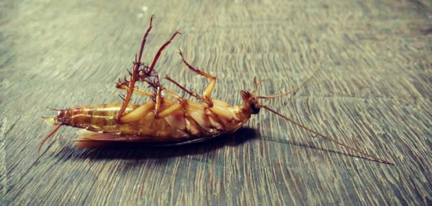 صورة كيفية التخلص من الصراصير الصغيرة
