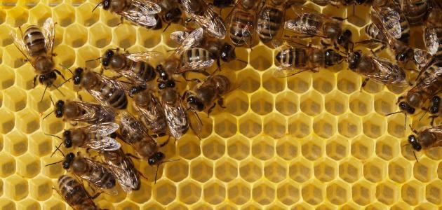 صورة النحل و بناء الشمع