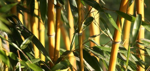صورة كيفية العناية بنبات البامبو