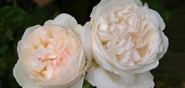 صورة أجمل أنواع الورود الطبيعية