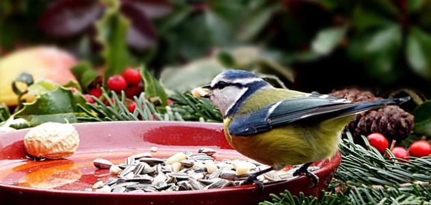 صورة أكل العصافير