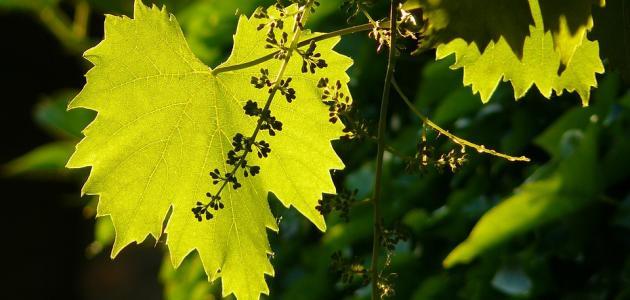 صورة فوائد أوراق العنب