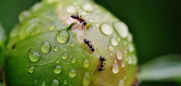 صورة كيفية طرد النمل الأسود من البيت