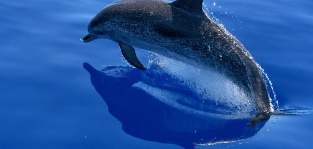 صورة اسم صغير الدلفين