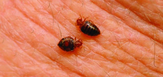 صورة ما هي الحشرات التي تعيش في الفراش
