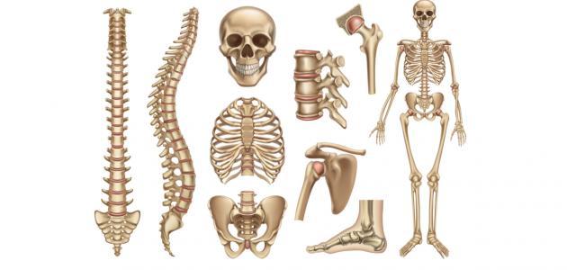 صورة كم عظمة في جسم الإنسان