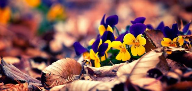 صورة ماذا تعني ألوان الورود