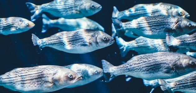 صورة حلم السمك