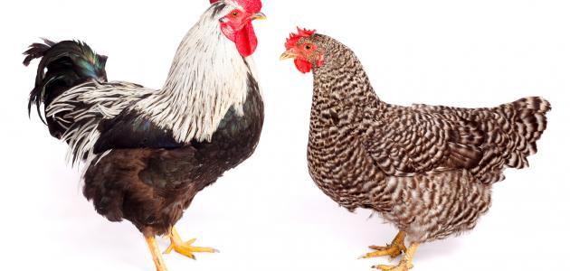 صورة تفسير الدجاج في الحلم