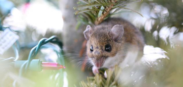 صورة تفسير الفأر في المنام