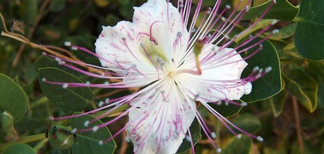 صورة ما هو نبات الكبر