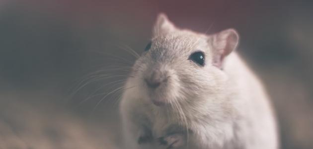 صورة حلم الفأر
