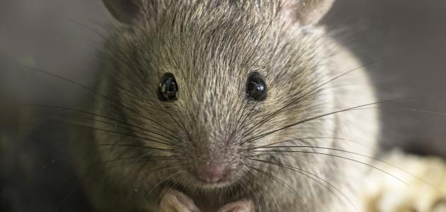 صورة أسباب وجود الفئران في البيت