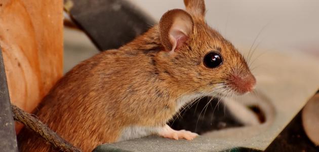 صورة كيفية طرد الفأر من البيت