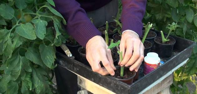 صورة كيف أزرع الطماطم بالبيت
