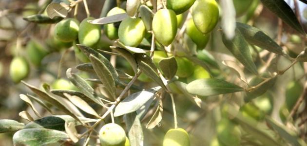 صورة ثمار الزيتون