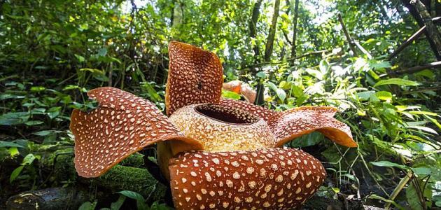 صورة ما هي أكبر زهرة مزهرة في العالم